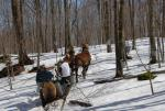 Maple Sugaring 30-20-11908