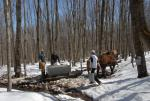 Maple Sugaring 30-20-11921
